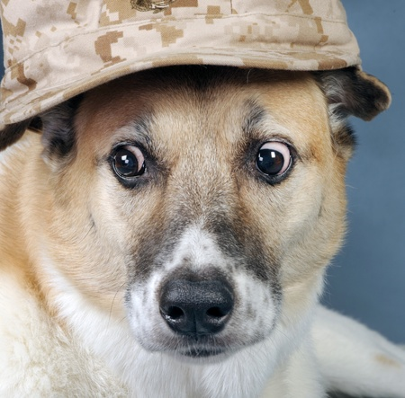 Marine Corp.Dog. with crazy eyes. Stock Photo - 10415417