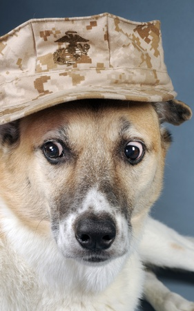 Marine corp Dog with crazy eyes. Stock Photo - 10415419