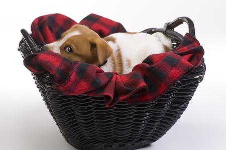 red heeler: Texas Red  Heeler Pup Nine Weeks Old. Stock Photo