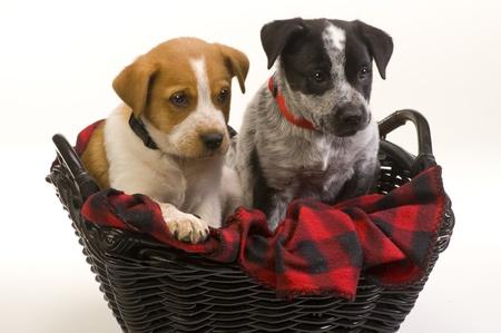 red heeler: Texas Red and Blue Heeler Pups Nine Weeks Old.