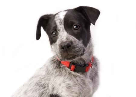 Texas  Blue Heeler Pup  11  Weeks Old. photo
