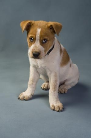 Texas  Red Heeler Pup  11  Weeks Old. photo