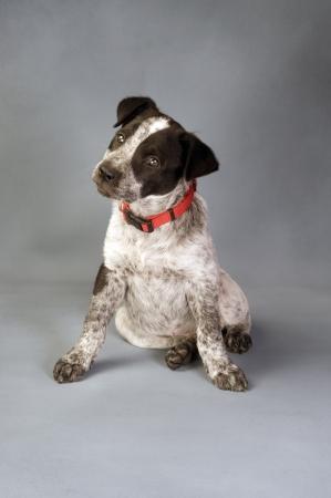 red heeler: Texas  Blue Heeler Pup  11  Weeks Old.