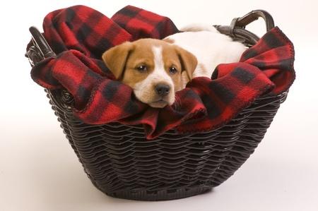 red heeler: Texas Red  Heeler Pup 9 Weeks Old.