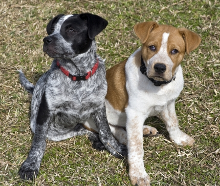 red heeler: Blue and Red Heeler Pups 15 Weeks Old. Stock Photo