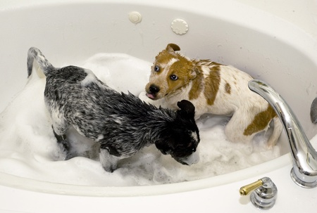 red heeler: Two Cute  PupsTaking a Bubble Bath