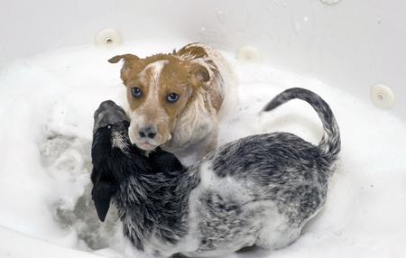 red heeler: Two Cute Pups Taking a Bubble Bath  Stock Photo