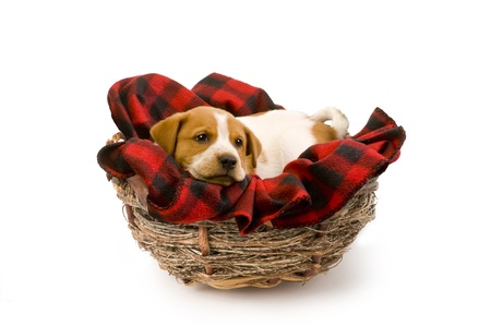 Puppy in a Birds Nest Stock Photo - 12757473