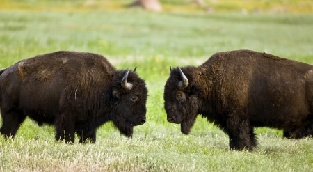 Buffalo on range outside Lawton,Oklahoma  Stock Photo - 13608696