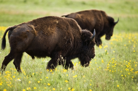 Buffalo on range outside Lawton,Oklahoma