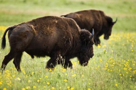 oklahoma: Buffalo on range outside Lawton,Oklahoma