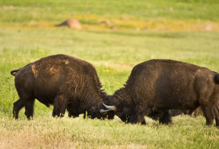Young Buffalo Fighting   photo