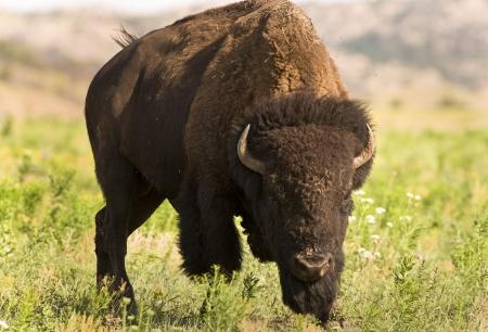 oklahoma: Buffalo