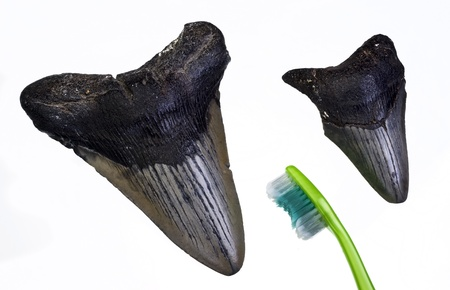 shark teeth: Megalondon dientes de tibur�n a unos 45 millones de a�os Foto de archivo