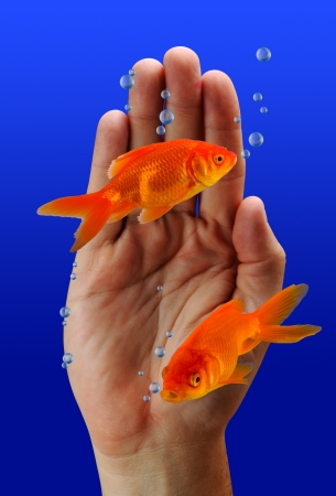Goldfish Swimming  photo
