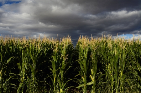 Corn Field With Room For Your Type  photo