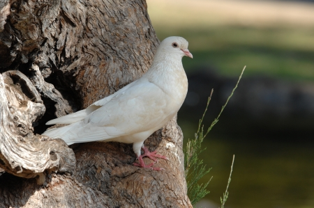 Blanca paloma de la paz