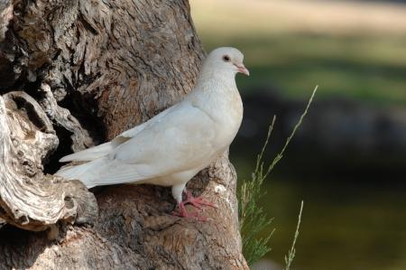 high spirits: White Peace Dove