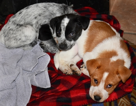red heeler: Puppies,cute as a bug in a rug