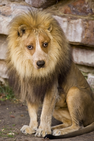 Lion With Dog Face  Stock Photo