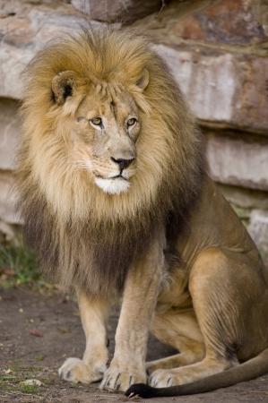 Large Male Lion  写真素材