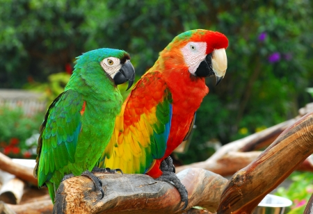 Green and red macaw birds  Stock Photo - 22973573