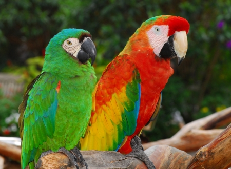 Green and red macaw birds  photo