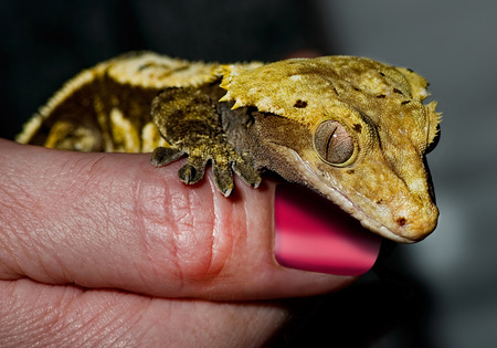 critter: Small yellow gecko lizard on finger.