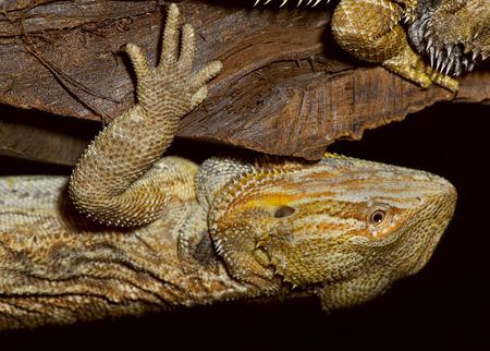 bearded dragon lizard: Closeup of bearded dragon lizard hanging upside down.