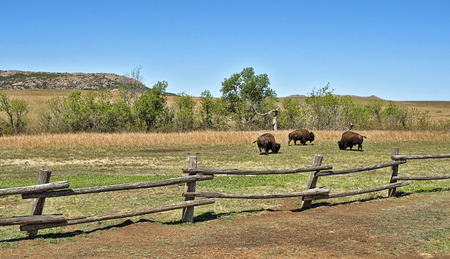 prairie: American buffalo on the Oklahoma grasslands.