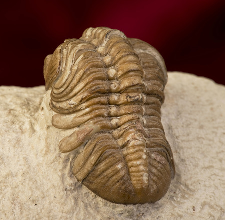 Oklahoma Trilobite of the Devonian formation around 360 million years old. photo