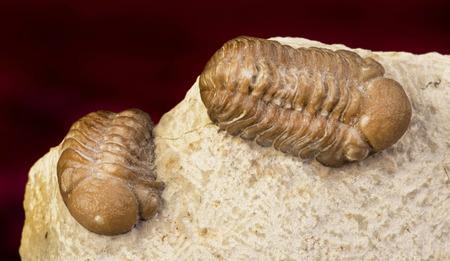 Oklahoma Trilobites of the Devonian formation around 360 million years old. photo