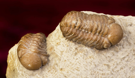 devonian: Oklahoma Trilobites of the Devonian formation around 360 million years old.