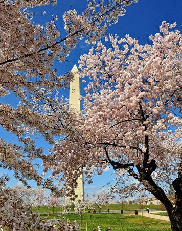Cherry blossom trees and Washington monument  at Washington DC. Editorial