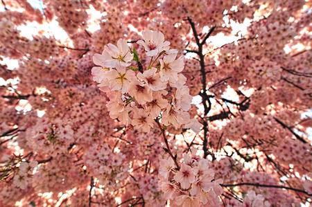 Cherry blossom trees in Washington DC. Stock Photo