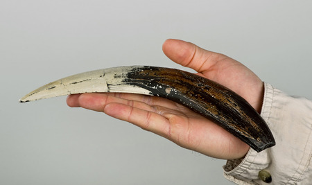 Sabor-toothed tiger tooth in hand. Imagens
