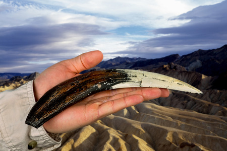 Large Sabor tooth tiger tooth in hand. photo