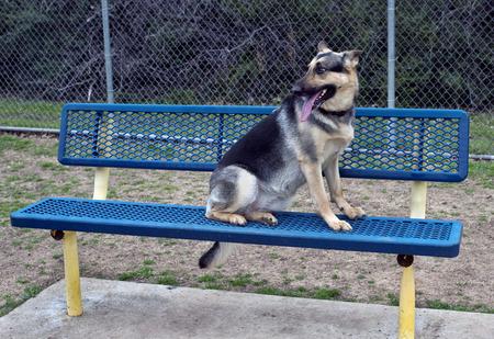 公園のベンチにジャーマン ・ シェパード。 写真素材