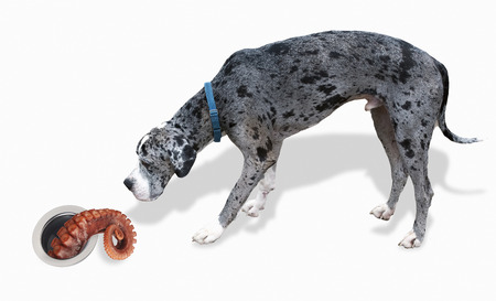 appetize: Big Great Dane looks at octopus tentacle. Stock Photo