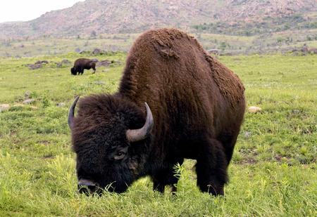 Bufalo americano sulle praterie Lawton, Oklahoma.