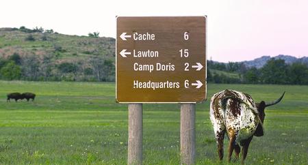 longhorn cattle: Oklahoma longhorn ganado caminando sobre la hierba verde.