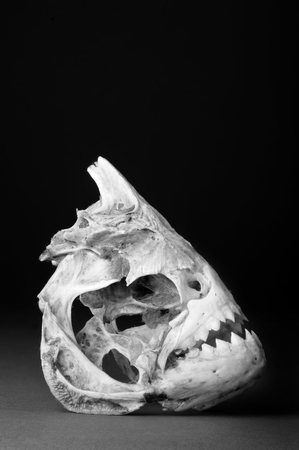 pygocentrus: Real piranha skeleton in black and white with room for your type.