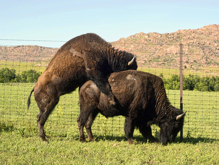 Buffalos mating in the Oklahoma plains in springtime.