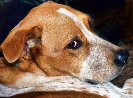 Closeup of cute Red Heller dog.