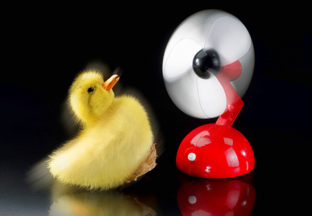 blown away: Baby ducky being blown away by red fan.