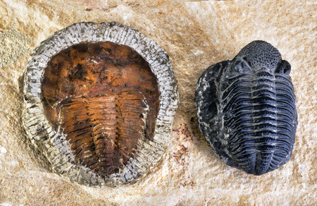 Cambrian period trilobites around 480 million years old.