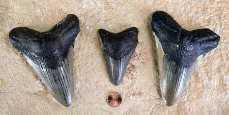 Megalodon shark teeth around 45 million years old.