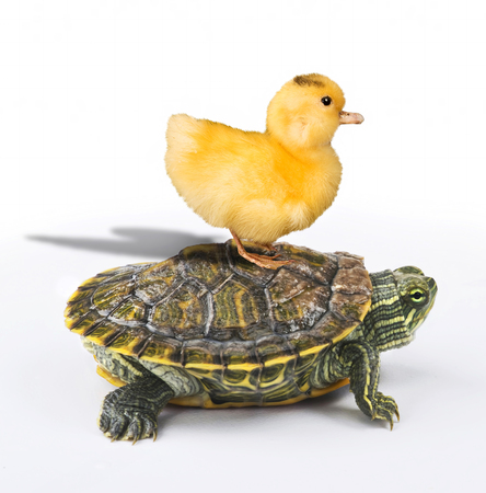 Baby ducky taking a ride on a turtle.
