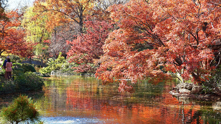 Japanese maple trees turning red in the fall.                               Stock Photo