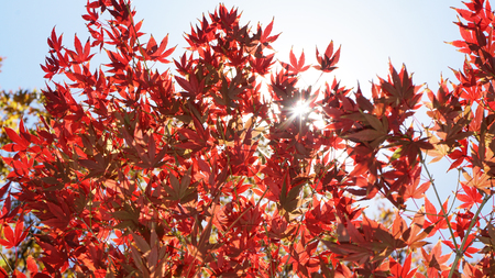 Japanese maple trees turning red in the Fall.